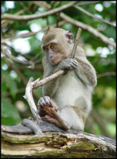 longtailmacaque