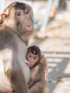 infant pigtail macaque